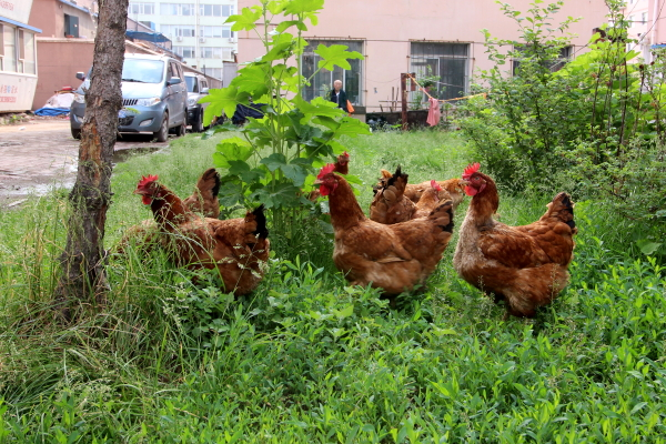 gallinas-barrio-1